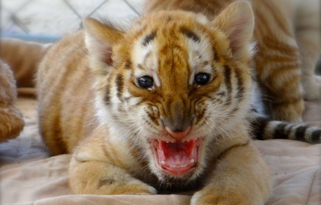 The Hidden Cruelty Behind Cute Exotic Cat Cub Petting Attractions