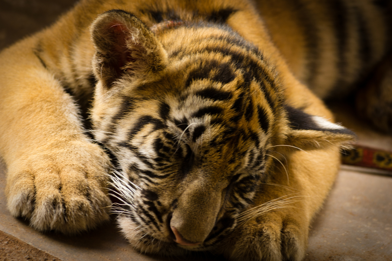 How We're Using Legislation to End the Vicious Cycle of Exotic Cat Ownership