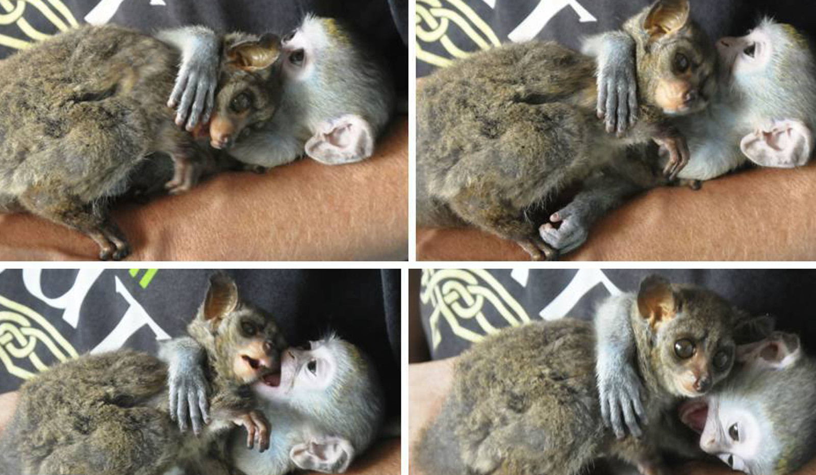 Healing With the Help of Friendship: 2 Rescued Orphan Primates Form an Amazing Bond