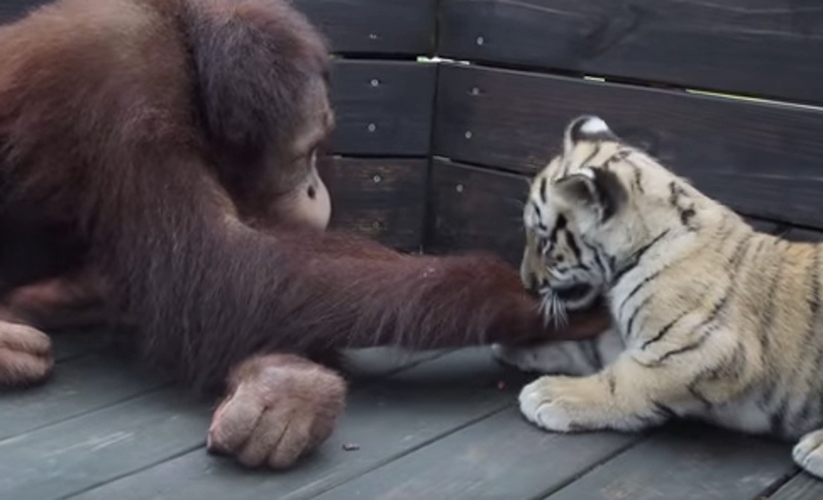 The Dark Truth Behind the Adorable Video of an Orangutan Who 'Adopted' 3 Tiger Cubs (VIDEO)