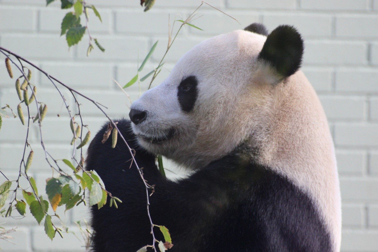 "The Truth Behind ""Panda Diplomacy"""