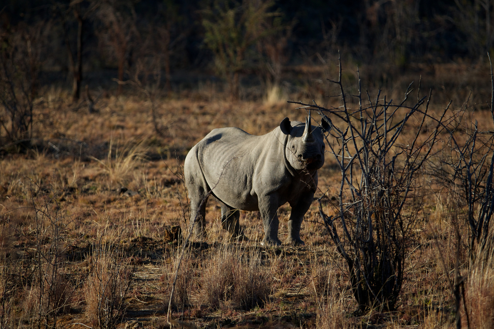 Trophy Hunter Pays to Hunt an Endangered Black Rhino and