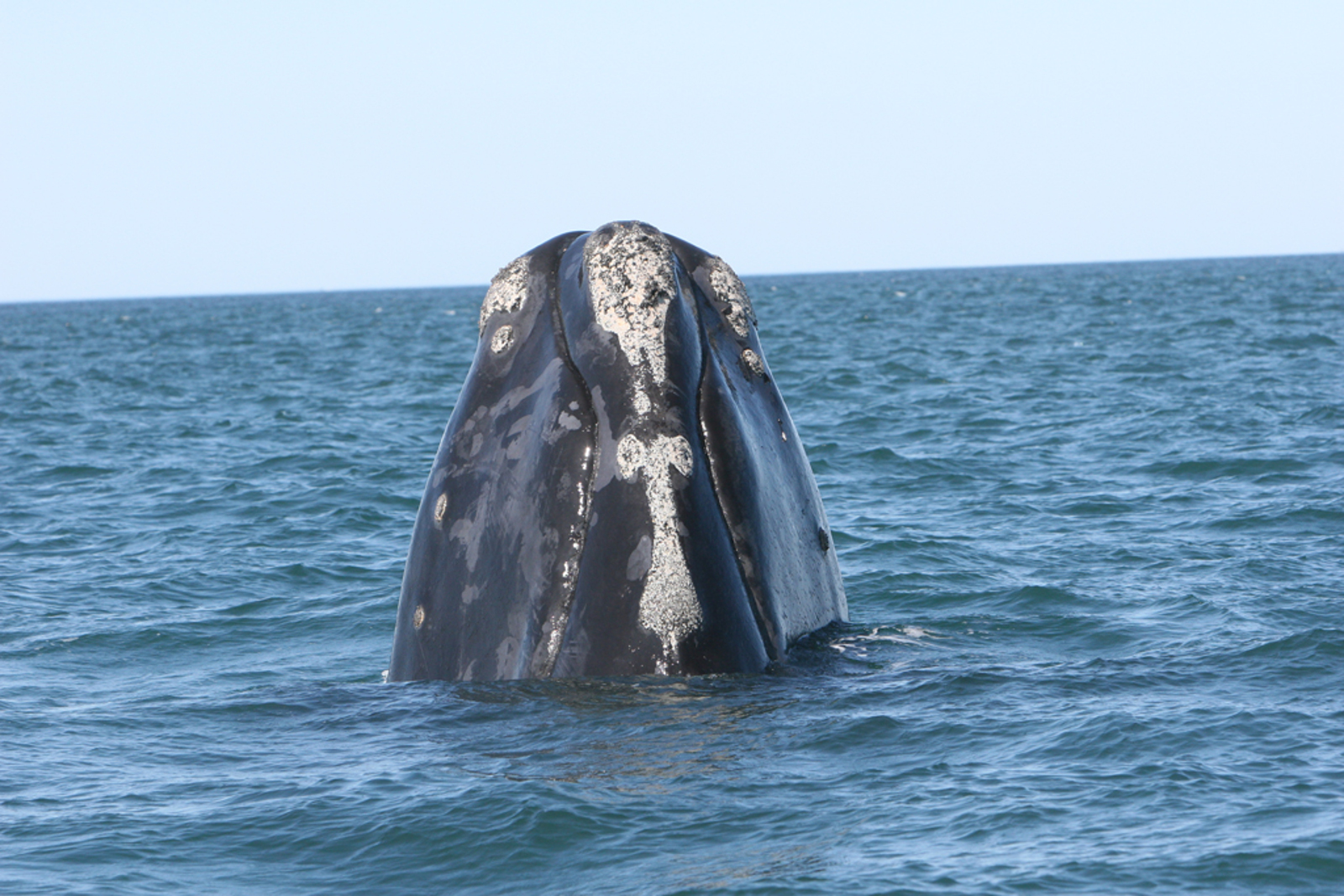 Endangered Right Whales Return to the East Coast! Here's How We Plan to Keep Them Safe