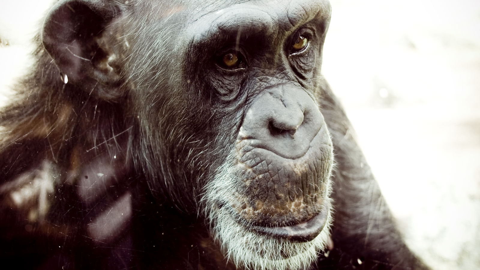 Wild and Captive Chimpanzees to Get Strongest Protections Under the Endangered Species Act!