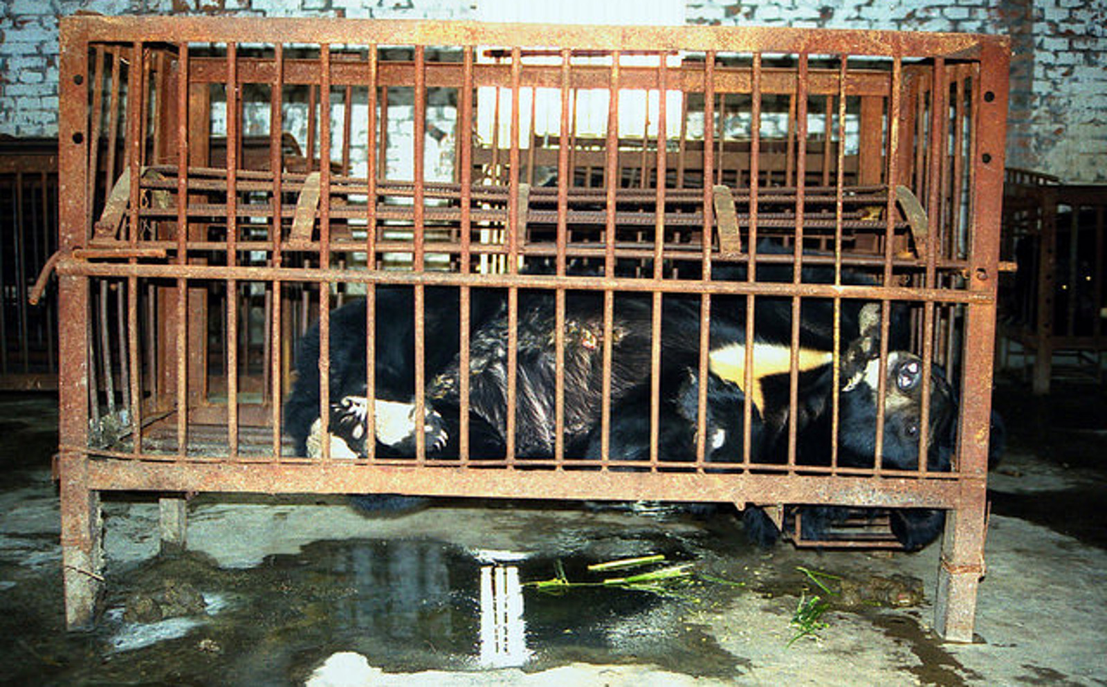 5 Bizarre Uses for Bear Bile That You Won't Believe are Real