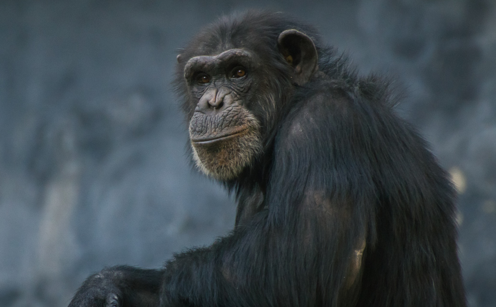 How You Can Help the 66 Chimps Used for Biomedical Research Left to Die by the NY Blood Center