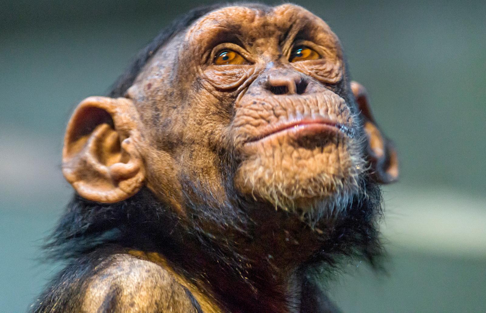 Our Responsibility to Chimpanzees Everywhere