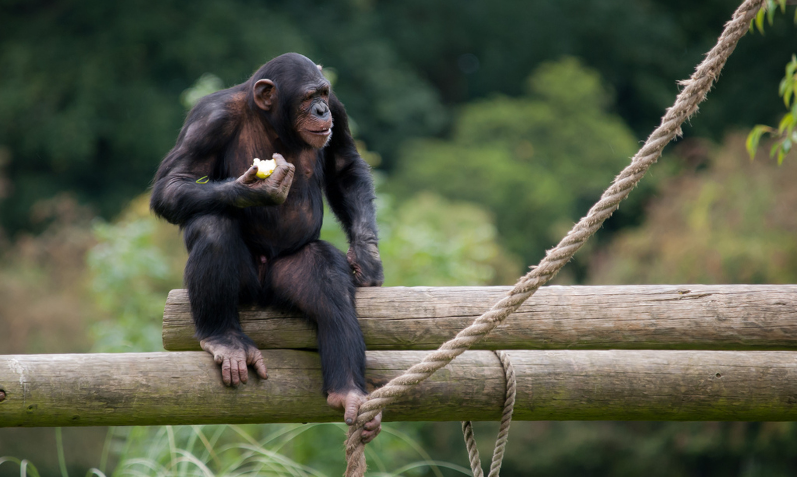 Captive Chimpanzees Given 'Endangered Status': What This Means for Their Protection