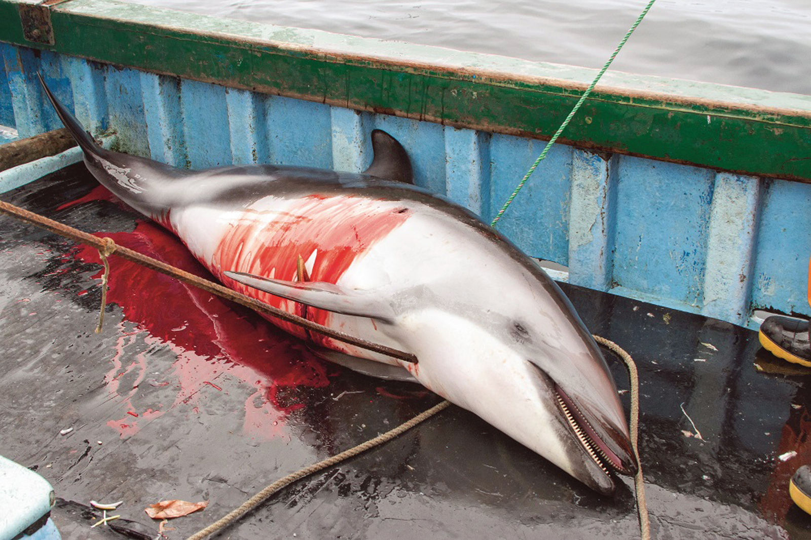 Dolphins in Peru are Being Killed for Shark Bait. Here's What You Can Do to Stop it!