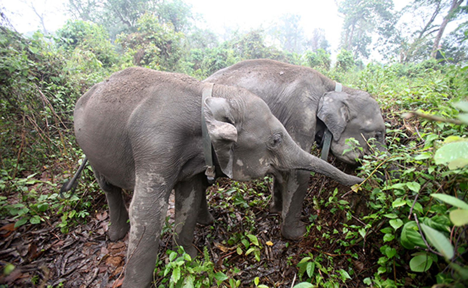 Success! Two Rehabilitated Elephant Calves Return to the Wild in India