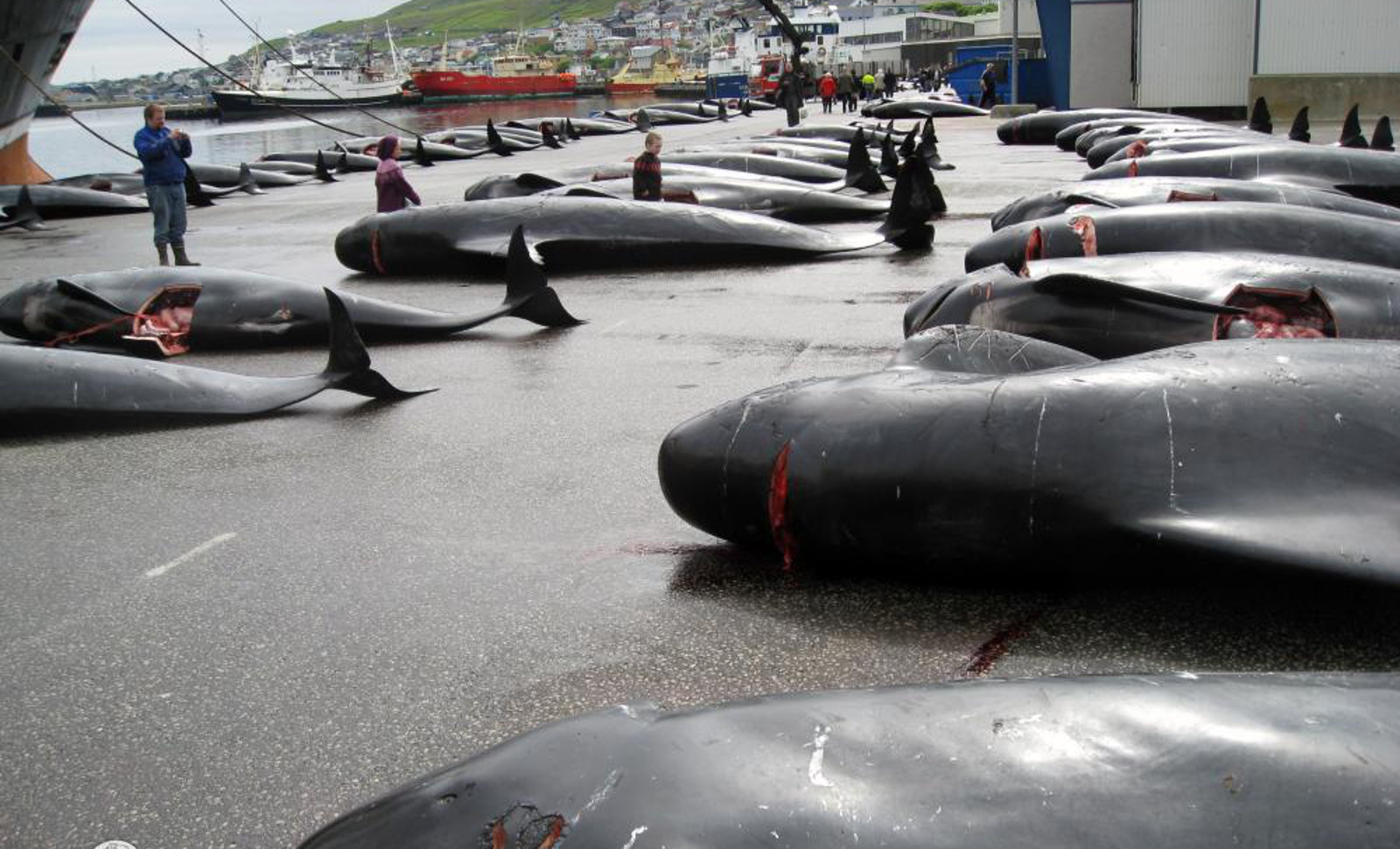 Danish Navy Set to Protect Pilot Whale Hunters in Faroe Islands