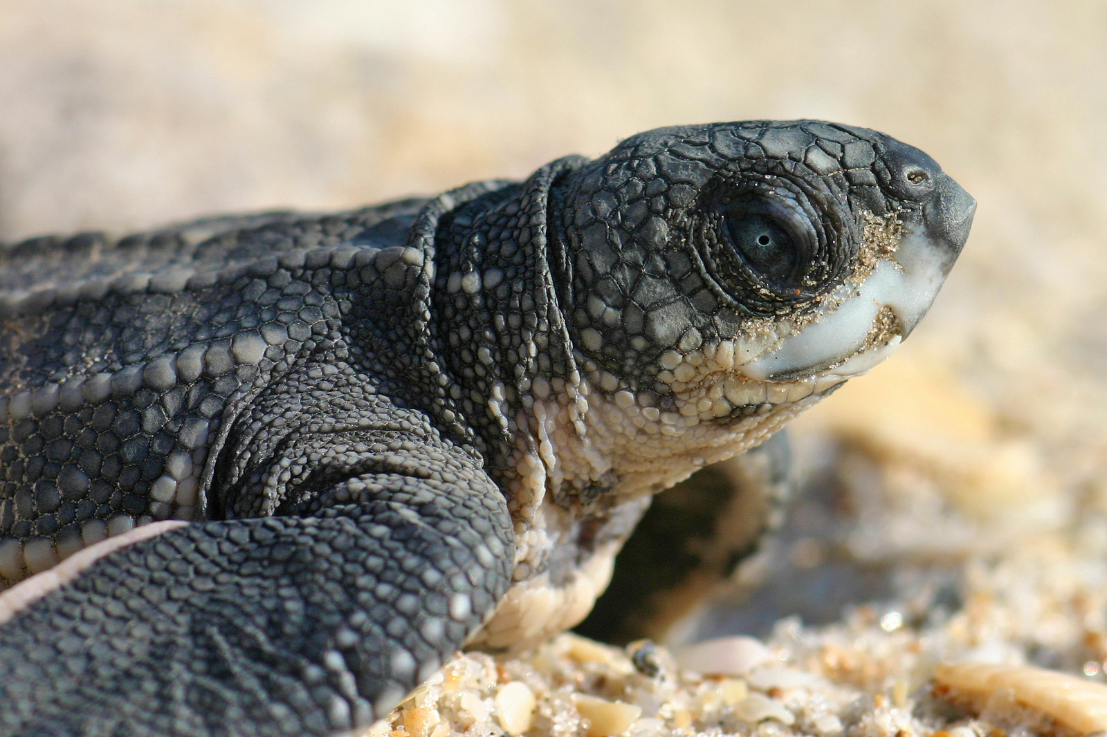 Amazing Volunteers Save Nesting Sea Turtle and 71 Eggs From Poachers in Costa Rica