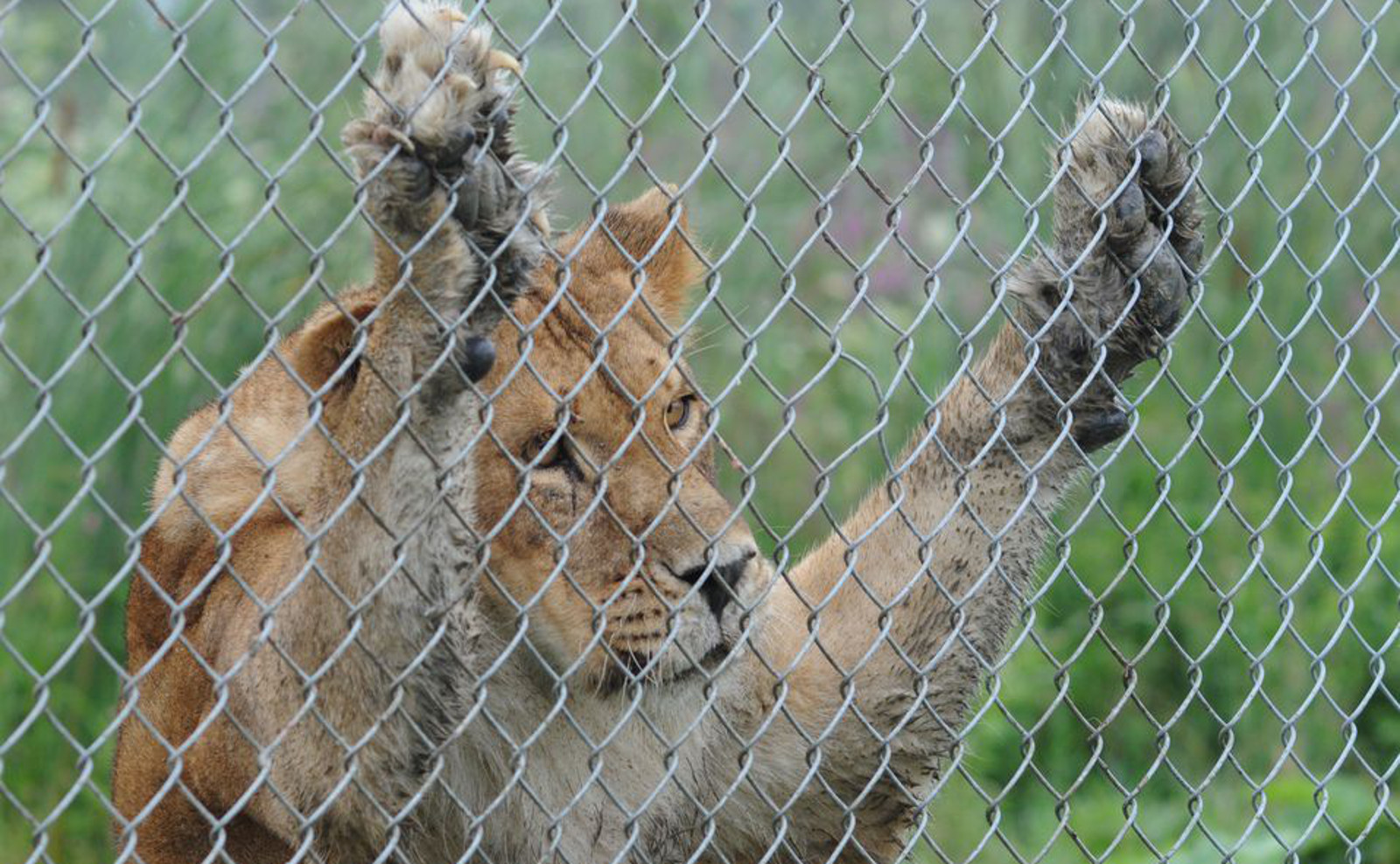 4 Amazing Rescues of Exotic Animals From Roadside Zoos That Give Us Hope This Cruel Practice Will End