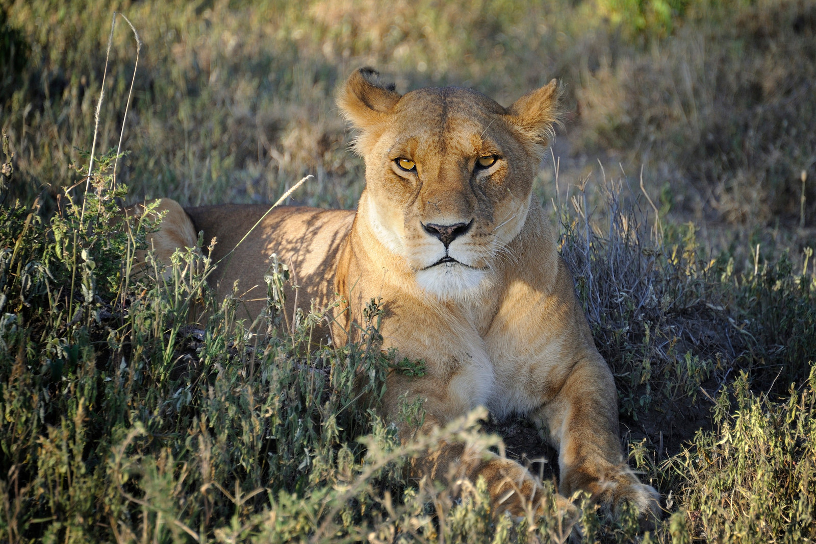 A Future Without Lions Might be Closer Than We Think