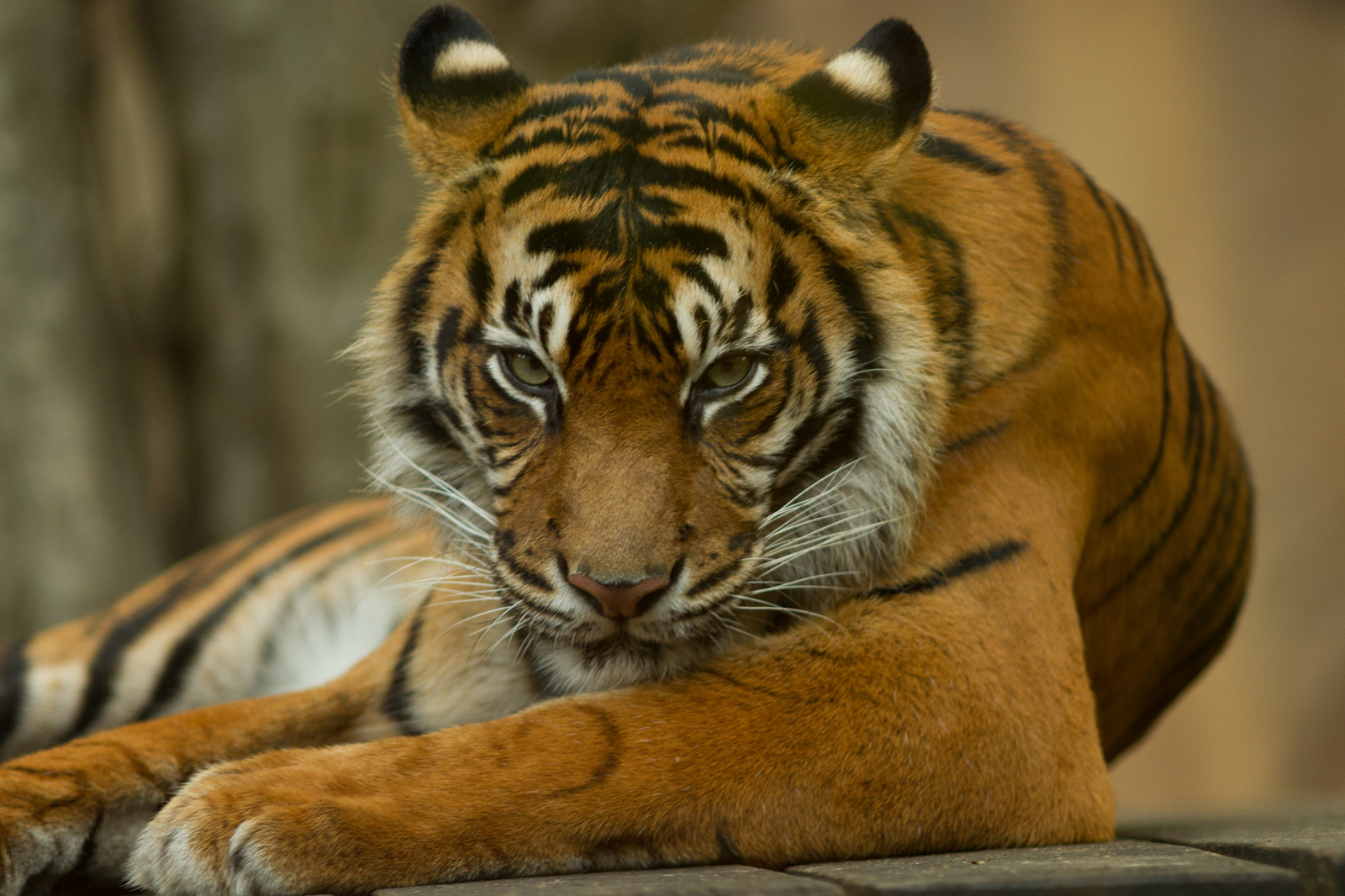 How We're Using an App to Raise Awareness for the Cruelty Behind Tiger Cub Selfies