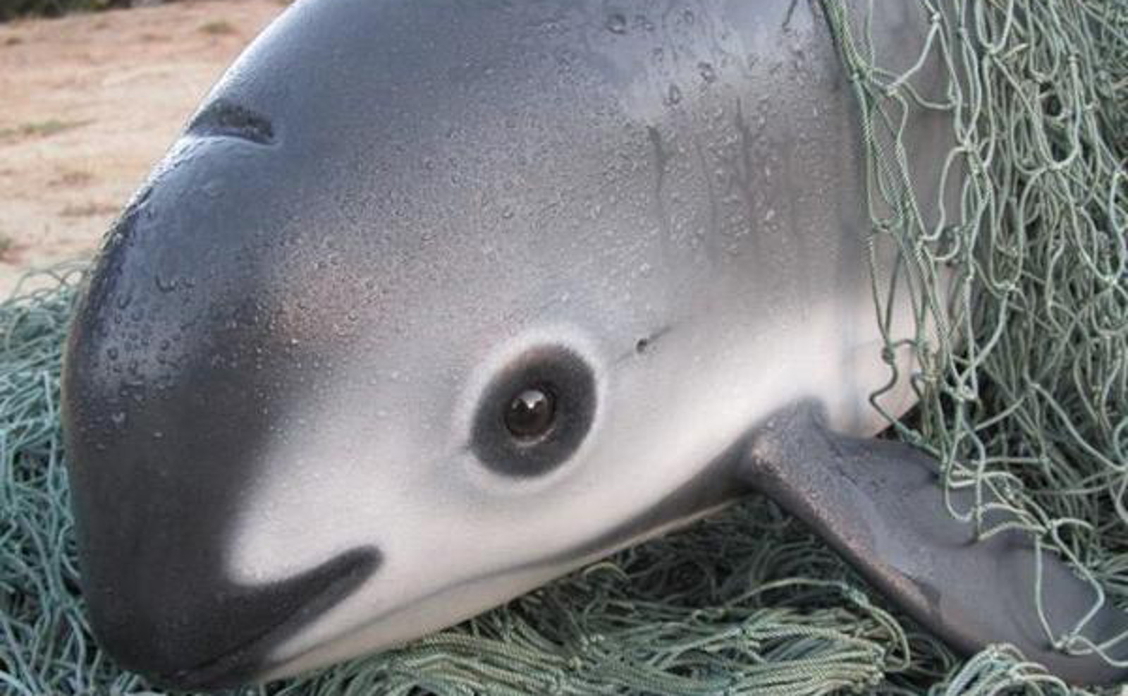 What?! Demand for Fish Swim Bladders In China Is Driving 2 Marine Species In Mexico to Extinction