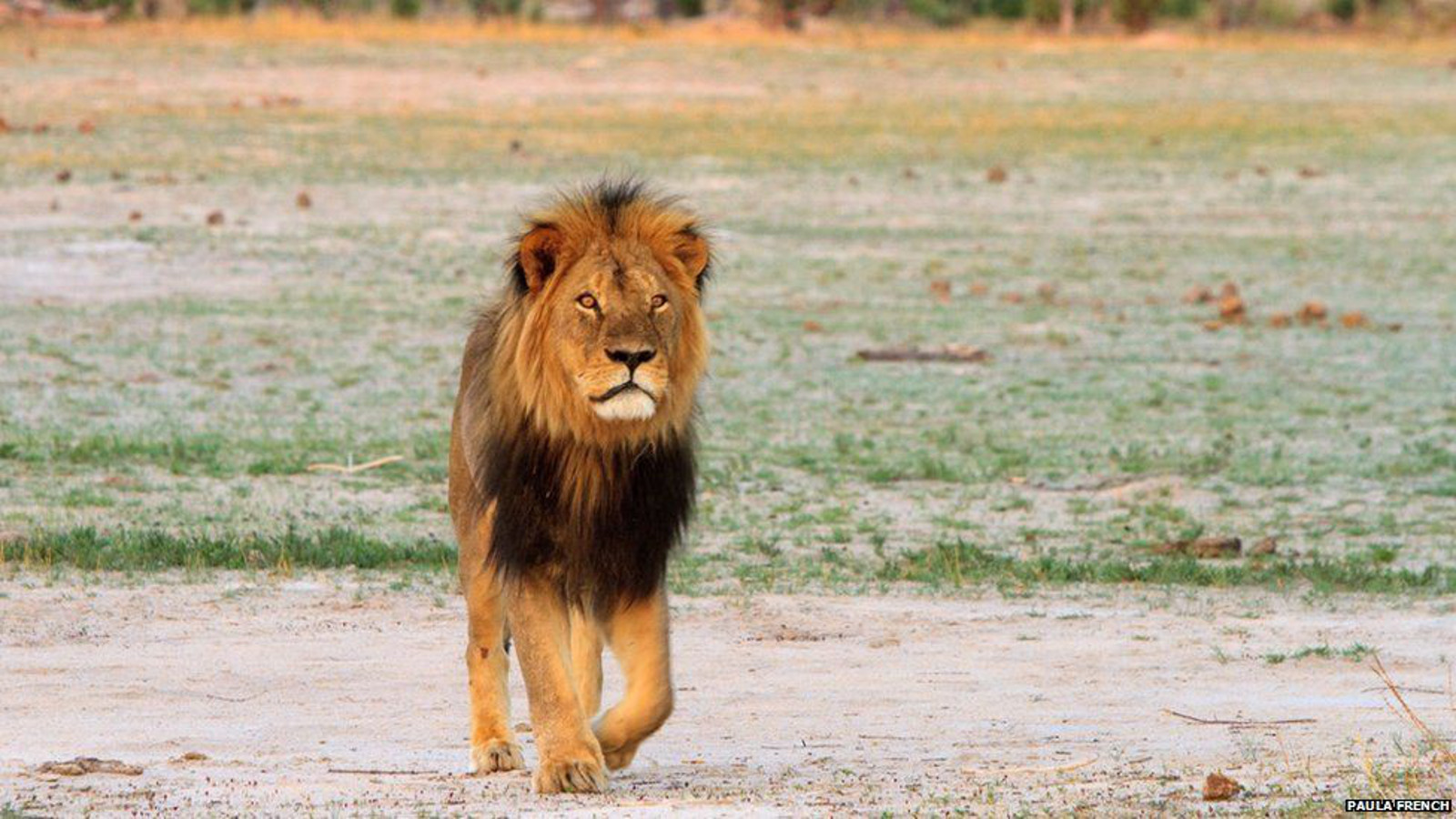 Looking Into the Death of Cecil the Lion