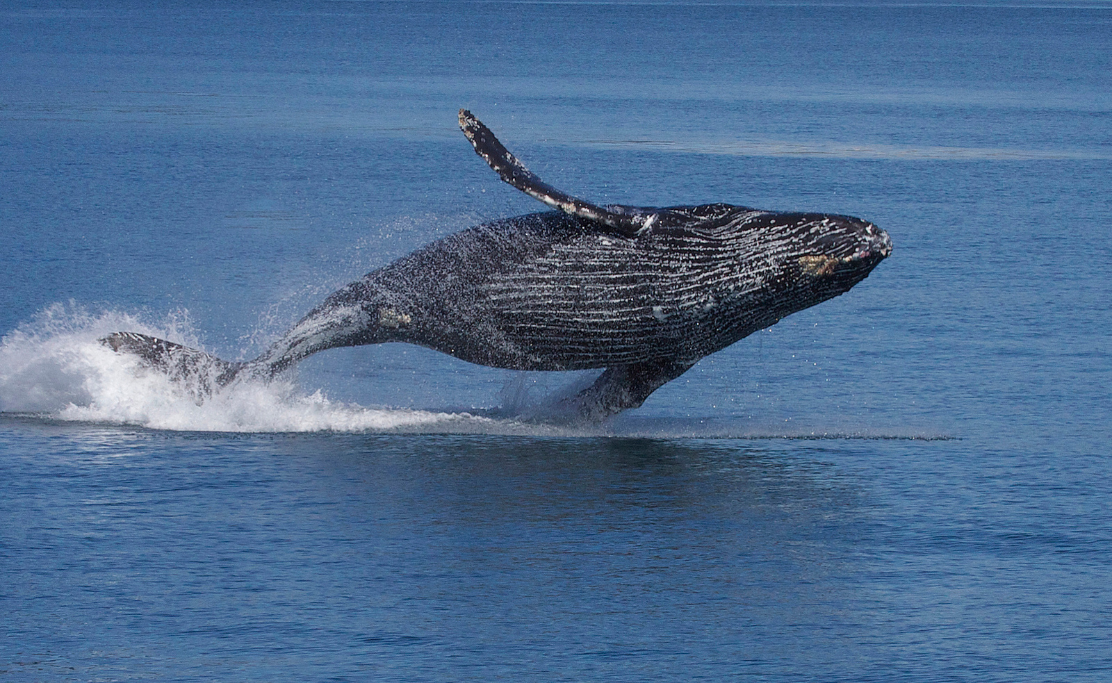 The Humpback Whale Might Lose Its Endangered Status, Here's Why That's a Terrible Idea