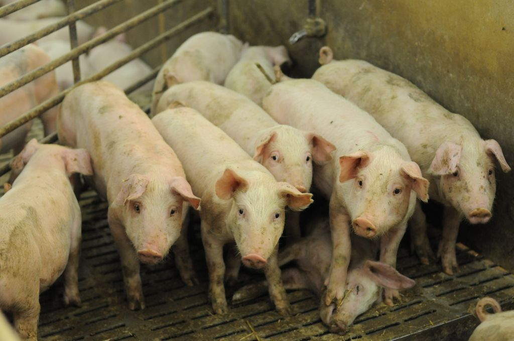 How We Can All Work to End the Suffering of Pigs in the Animal Agriculture Industry