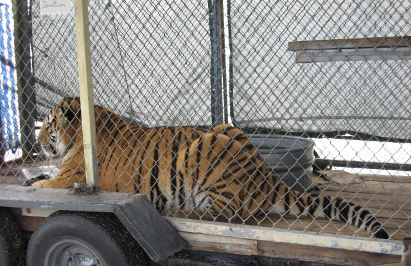 Why I Refused to Give Up the Fight to Free Samson the Tiger From Display at Florida Craft Fair