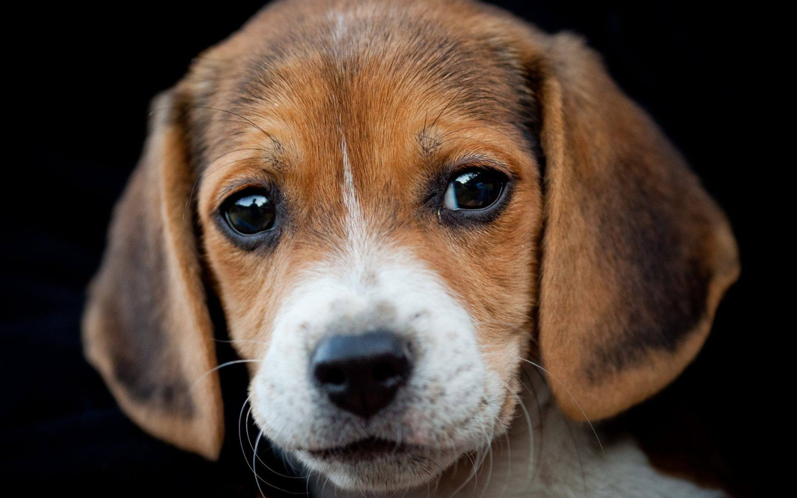 Why is the UK Government Still Approving Cruel Testing on Innocent Dogs?Compassion: Where the Interests of Animal Rights and Human Rights Meet