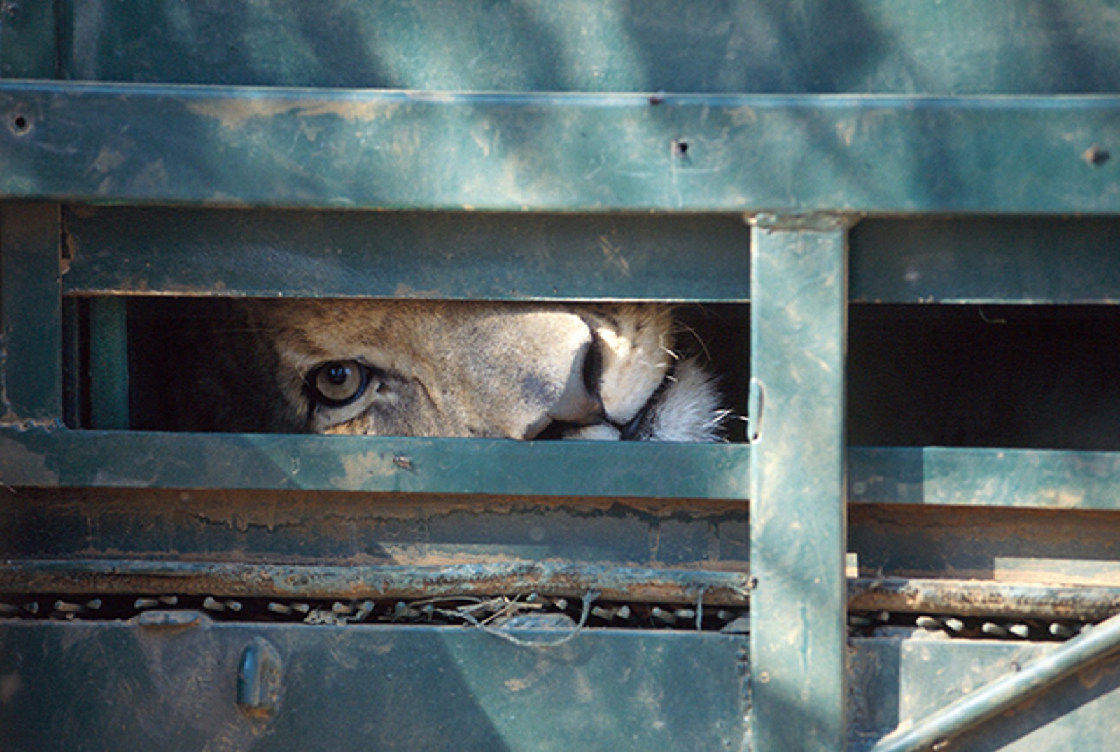 Amazing New Documentary Exposes the Sordid World of Captive Lion Breeding