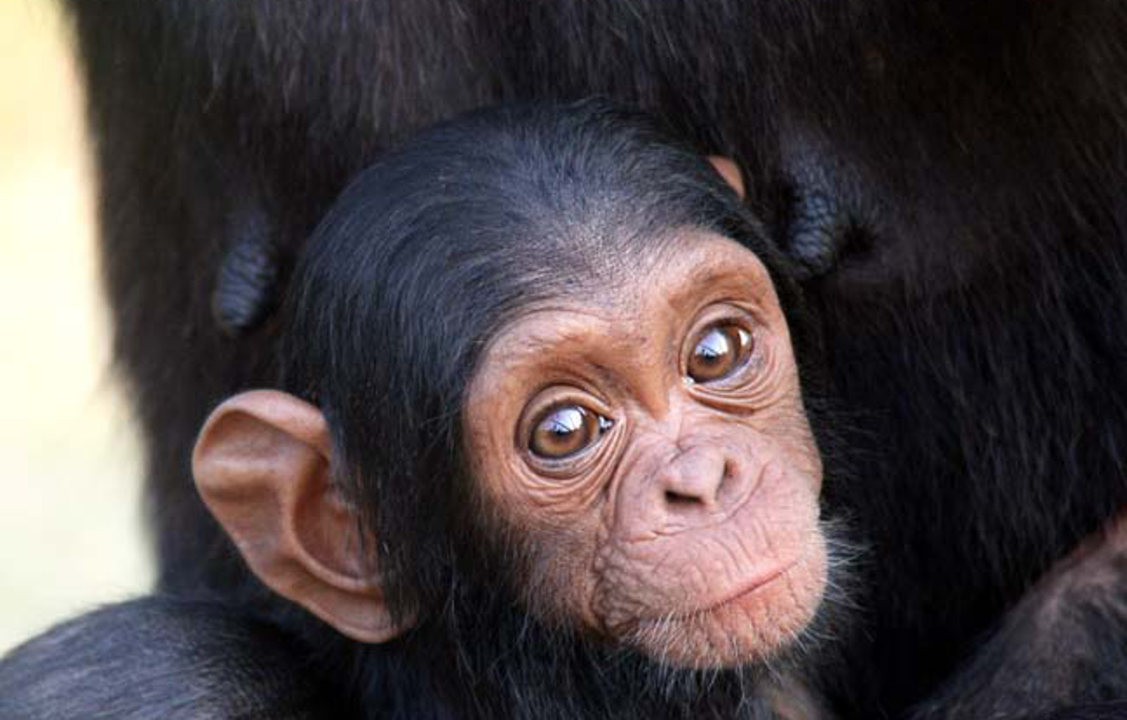 "10 Ways Chimpanzees are ""Nothing"" Like You"