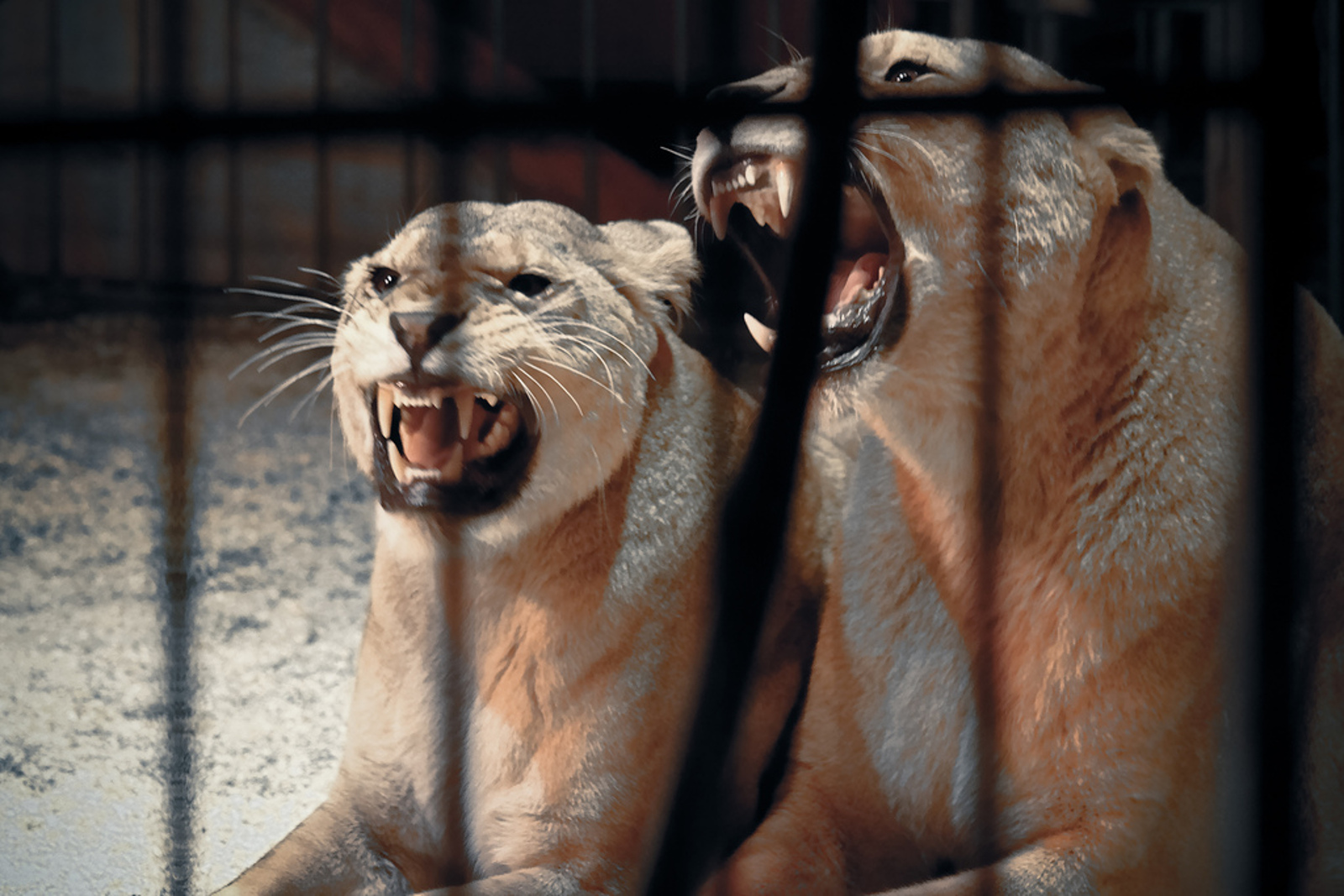 Wild Animal Circuses Might Soon be a Thing of the Past in Scotland ... Will the Rest of the UK Follow