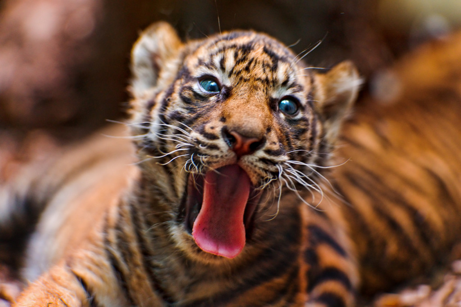 Big Cats Are Not Photo Props! Why a Ban Against Interactions With Captive Cats in Needed ... NOW