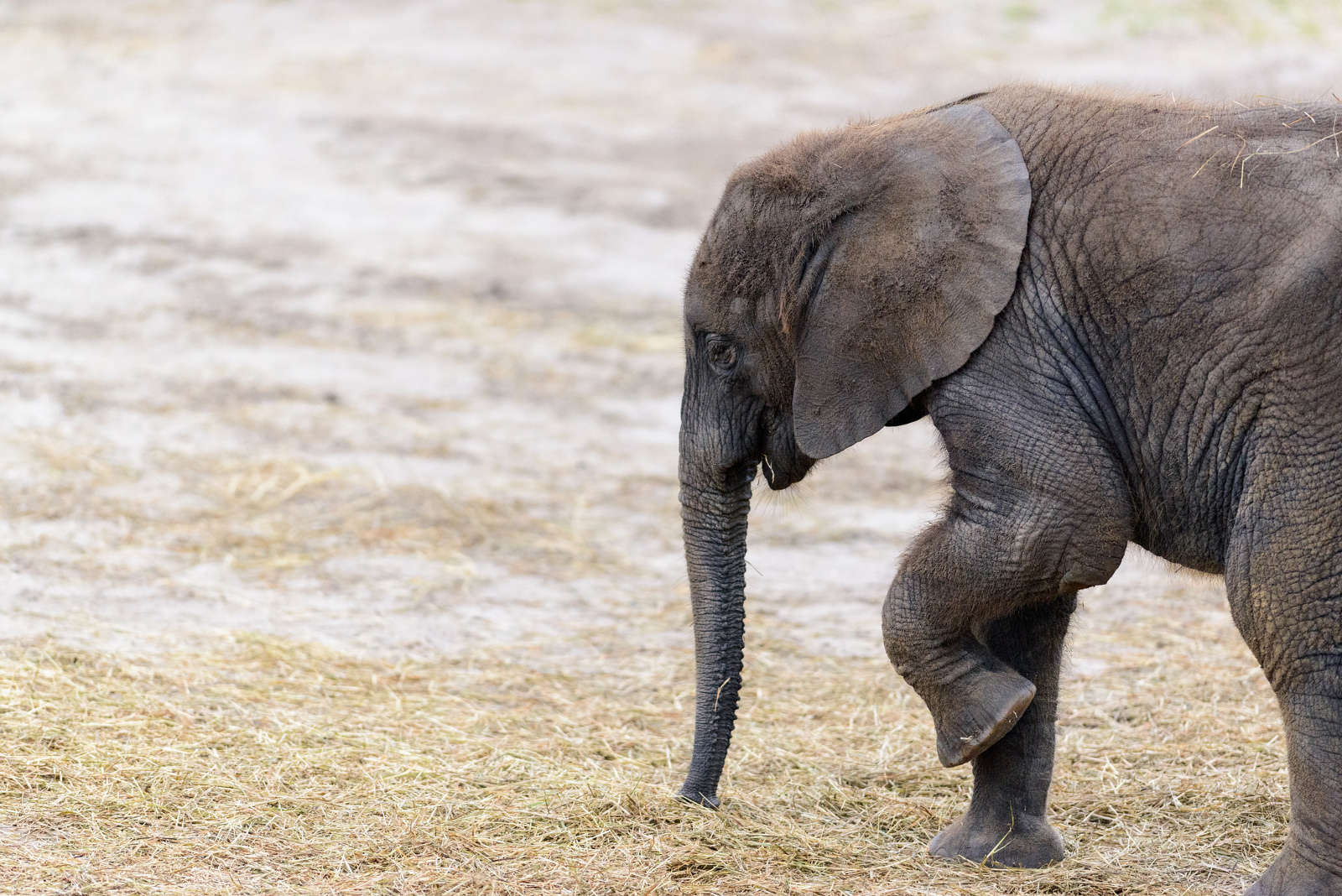 What Zimbabwe's Kidnapped Baby Elephants Will Never Get to Experience in Captivity