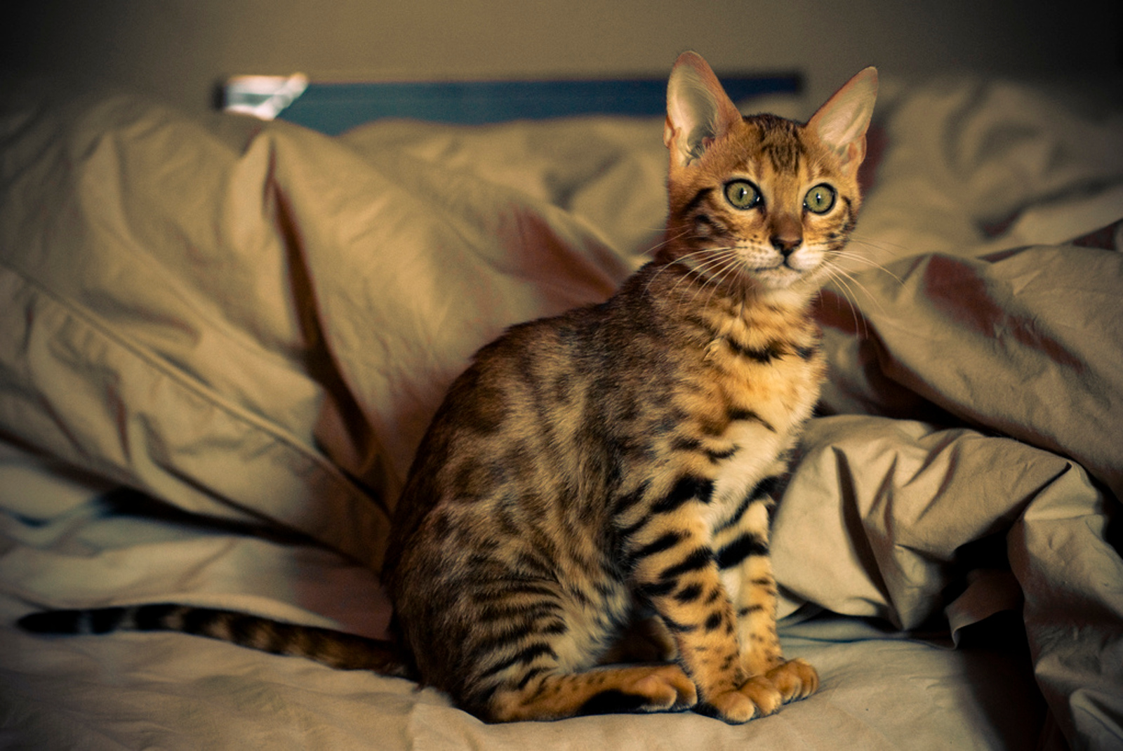Living With Hybrid Exotic Cats: Real Guardians Weigh in on Whether Breeding These Animals is Responsible