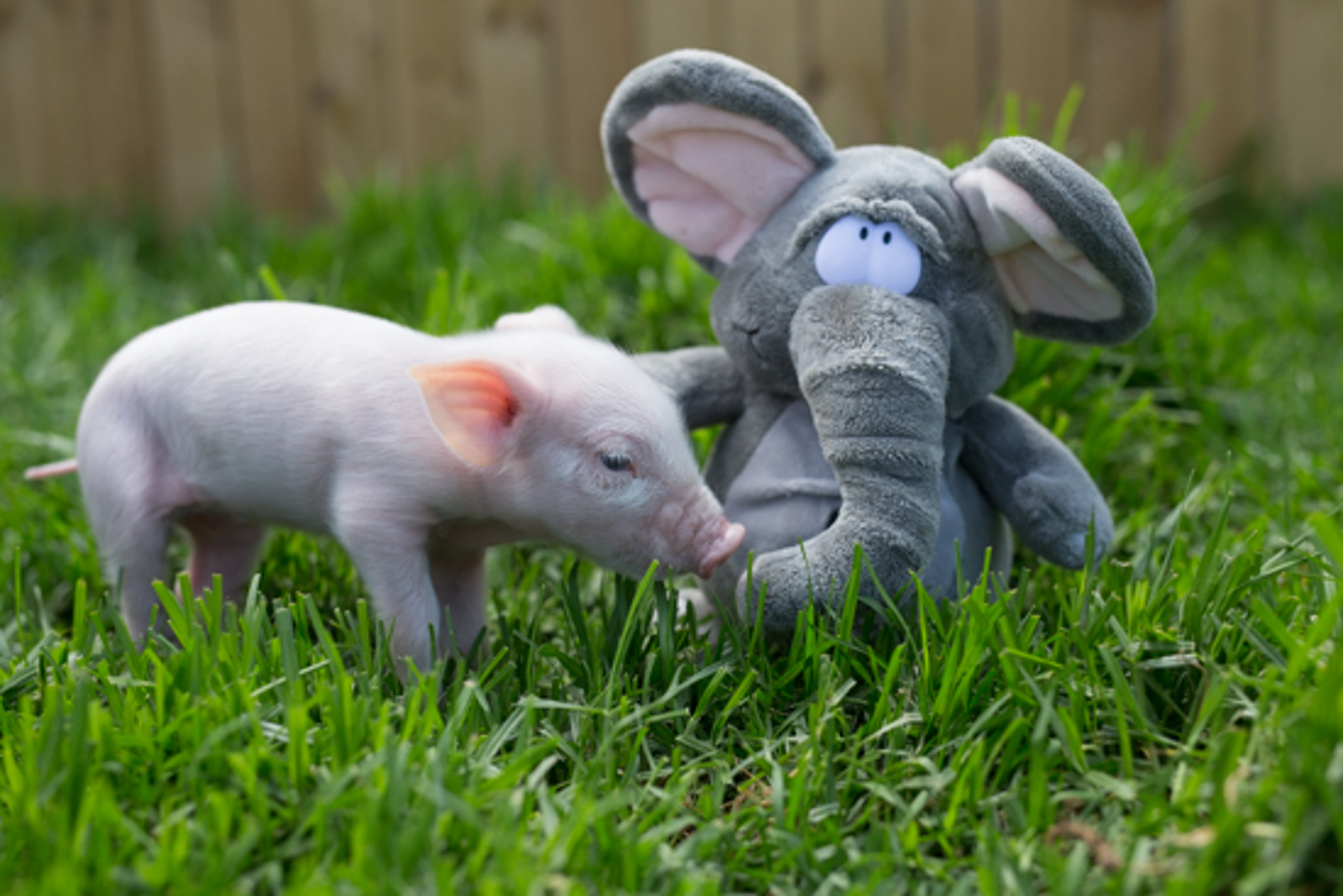 These Rescued Farm Animals Have the Sweetest Surrogate Moms ... Giant Stuffed Animals!