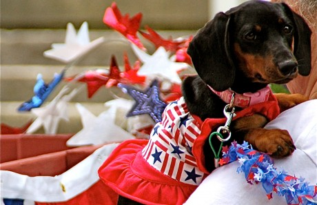 puppy in fourth of july clothes