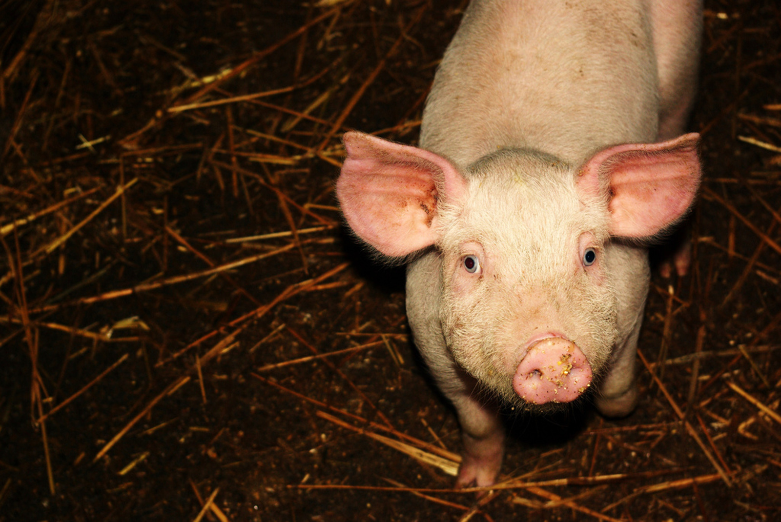 Cruelty in Factory Farms: Intentional Abuse or Systemized Suffering?