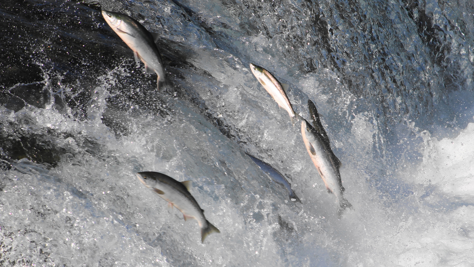 Is Our Obsession With Meat Leading Salmon to Extinction?