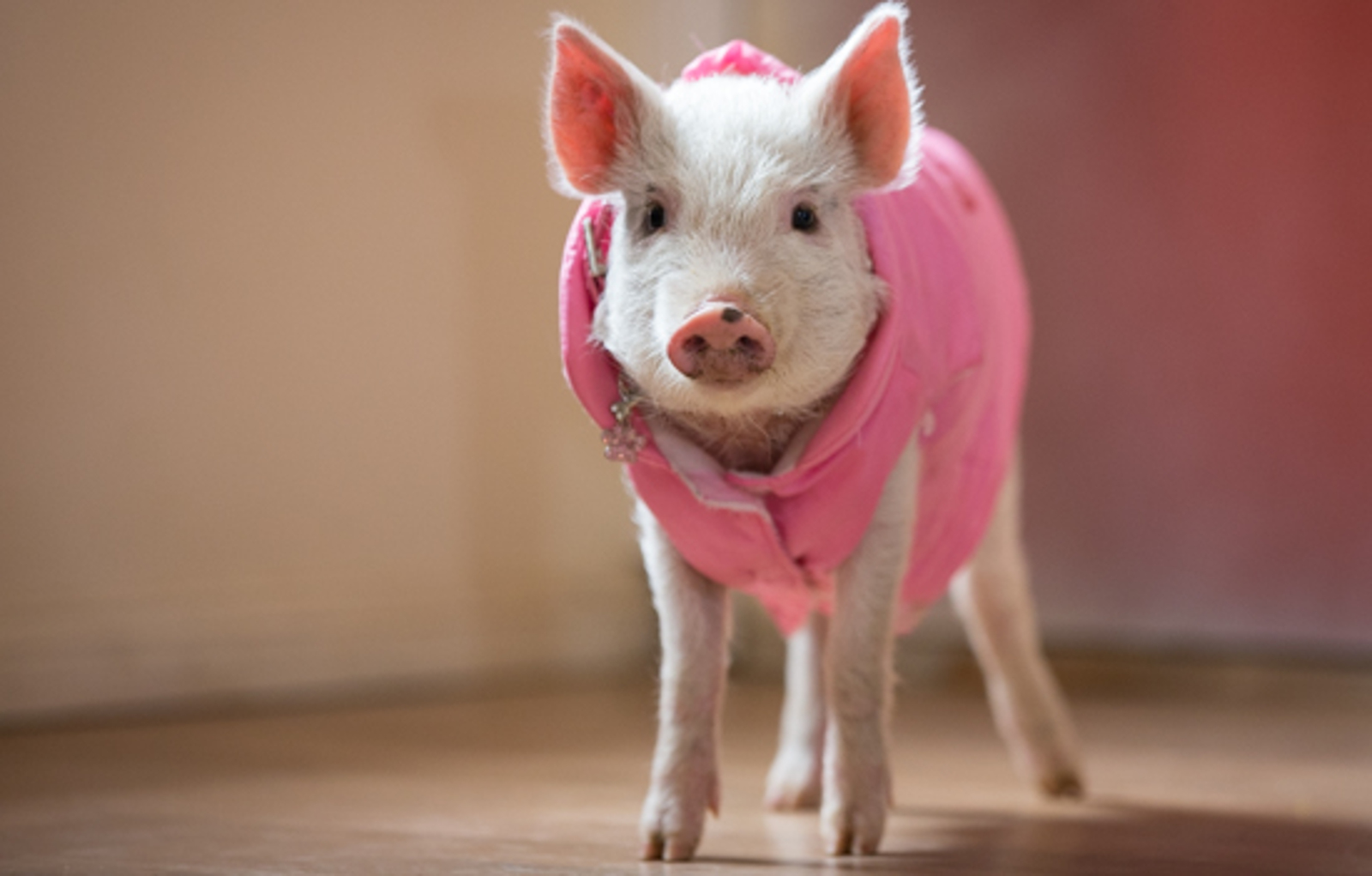 Rescued From Life as a 'Teacup' Pig, Lil Squeak Has a Blast in Her New Sanctuary Home