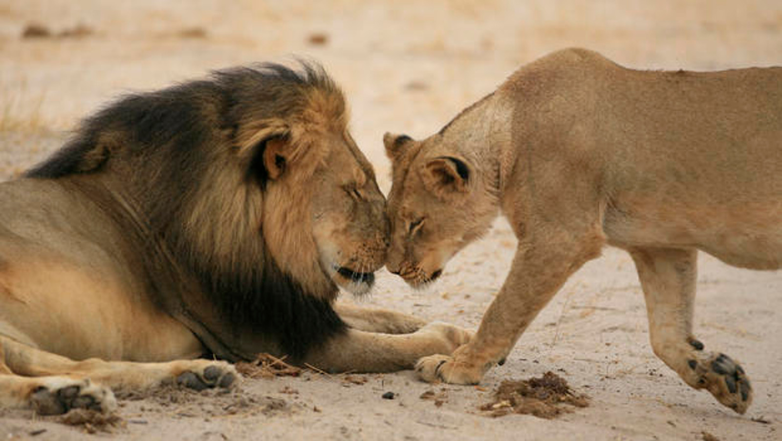 How Cecil the Lion Inspired the World to Wake Up and Take Action for Big Cats