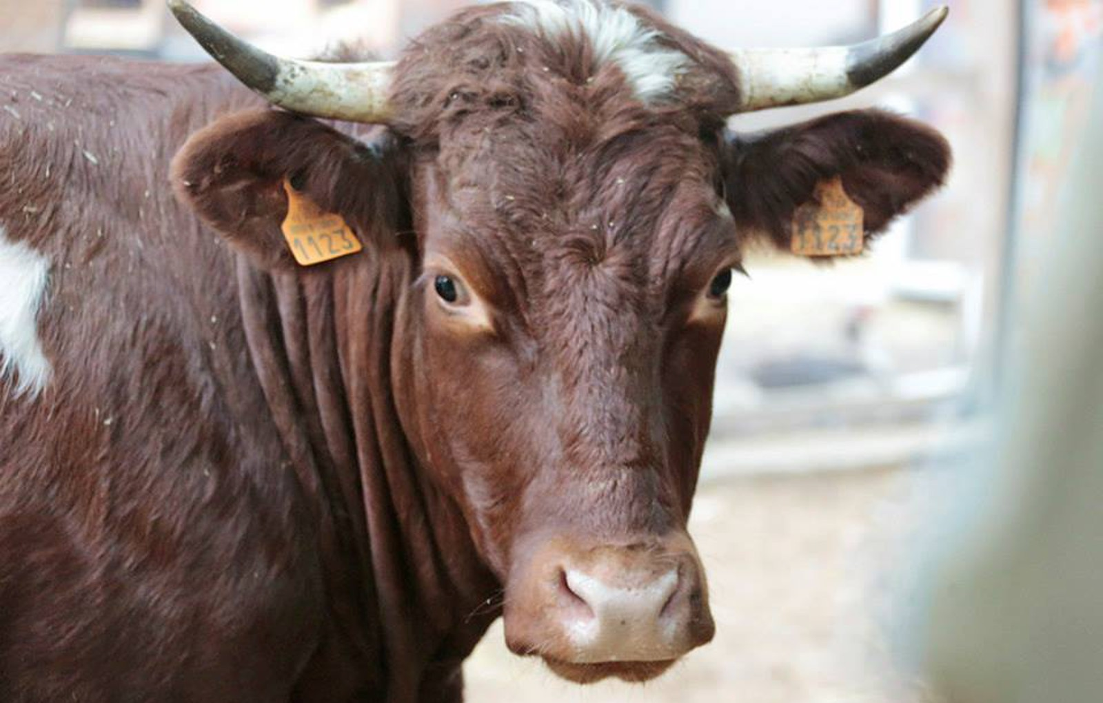 Cow Destined for Slaughterhouse in France Refused to Give Up