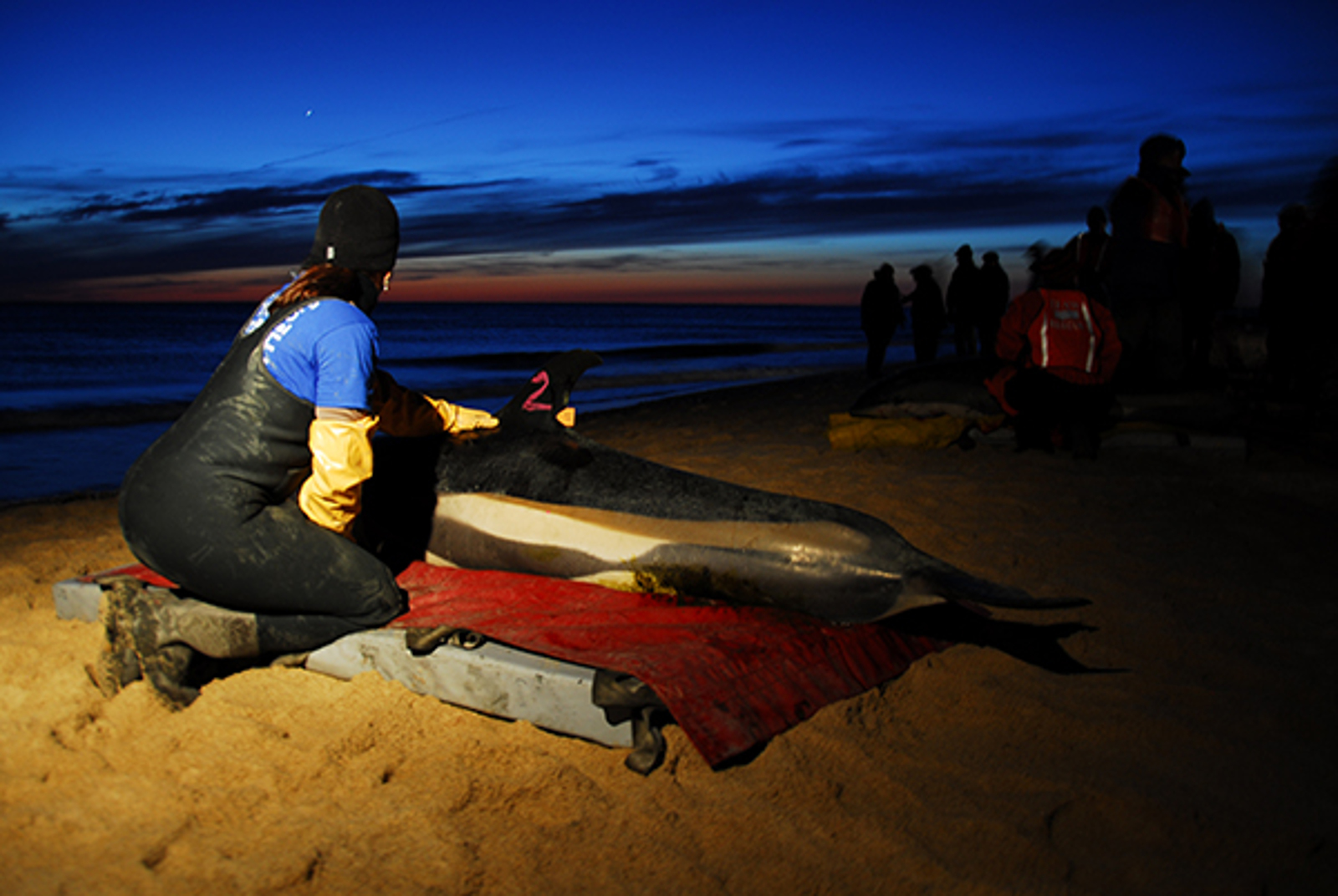 Success! Study Finds Euthanasia for Stranded Wild Dolphins is NOT Necessary