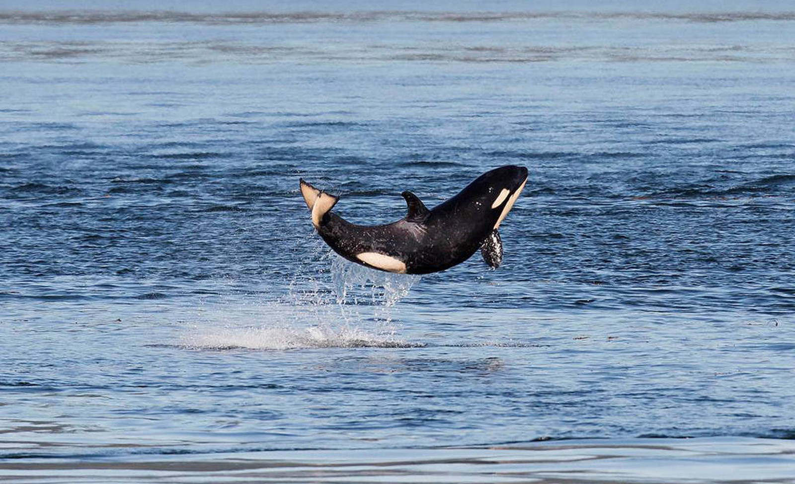 How an Orca Baby Boom Is Promising News For An Endangered Pod