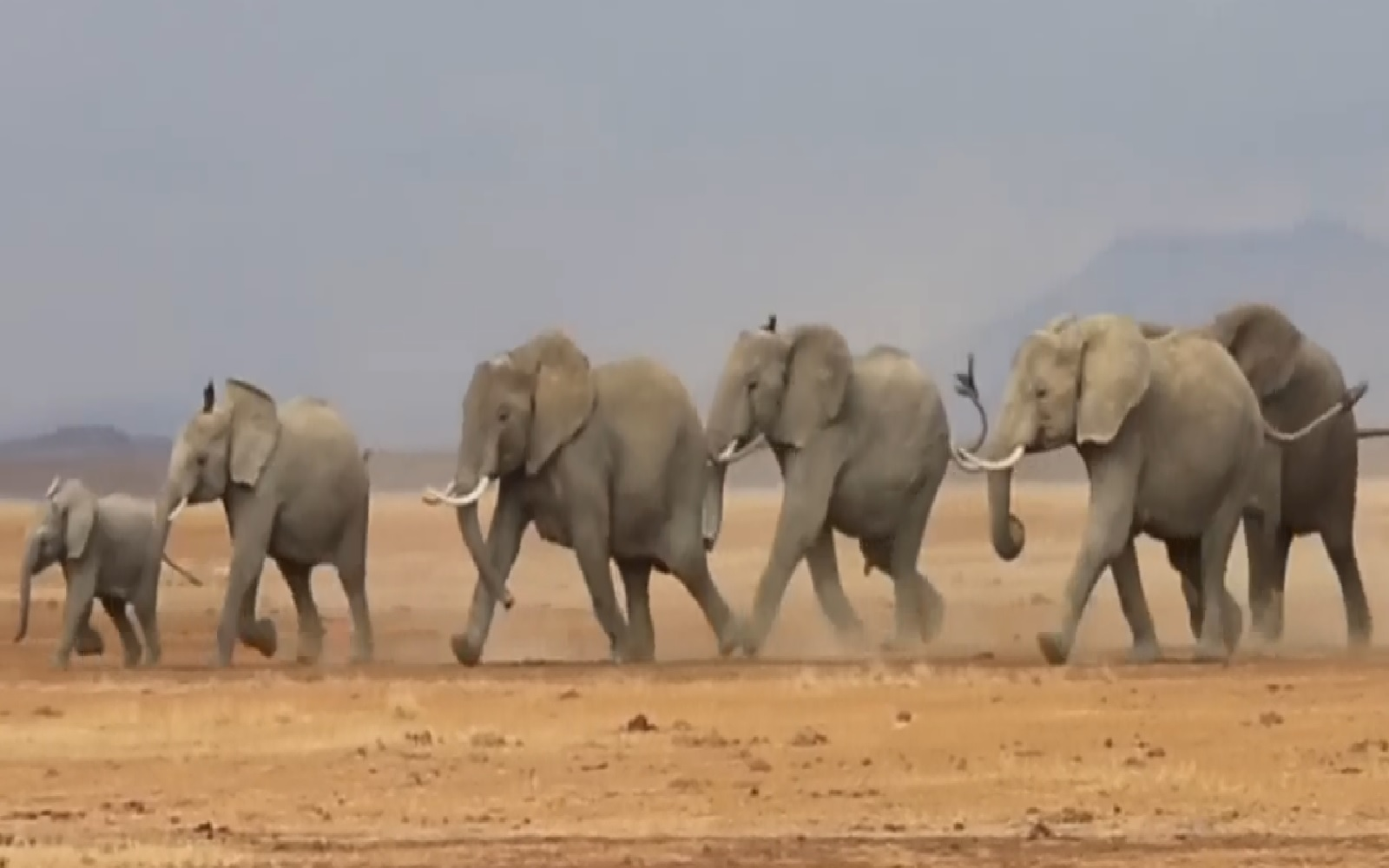 This Video of Happy Wild Elephants Running Shows Us Exactly Why These Animals Don't Belong in Zoos! This Video of Happy Wild Elephants Running Shows Us Exactly Why These Animals Don't Belong in Zoos!