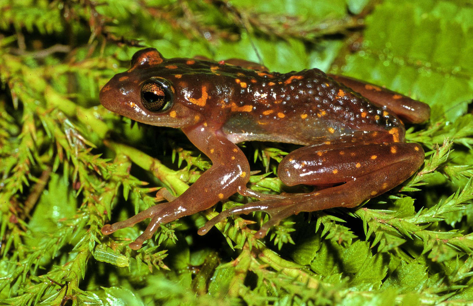 Madagascar's Frogs are in Danger of Extinction Due to Deforestation. Here's How We're Helping