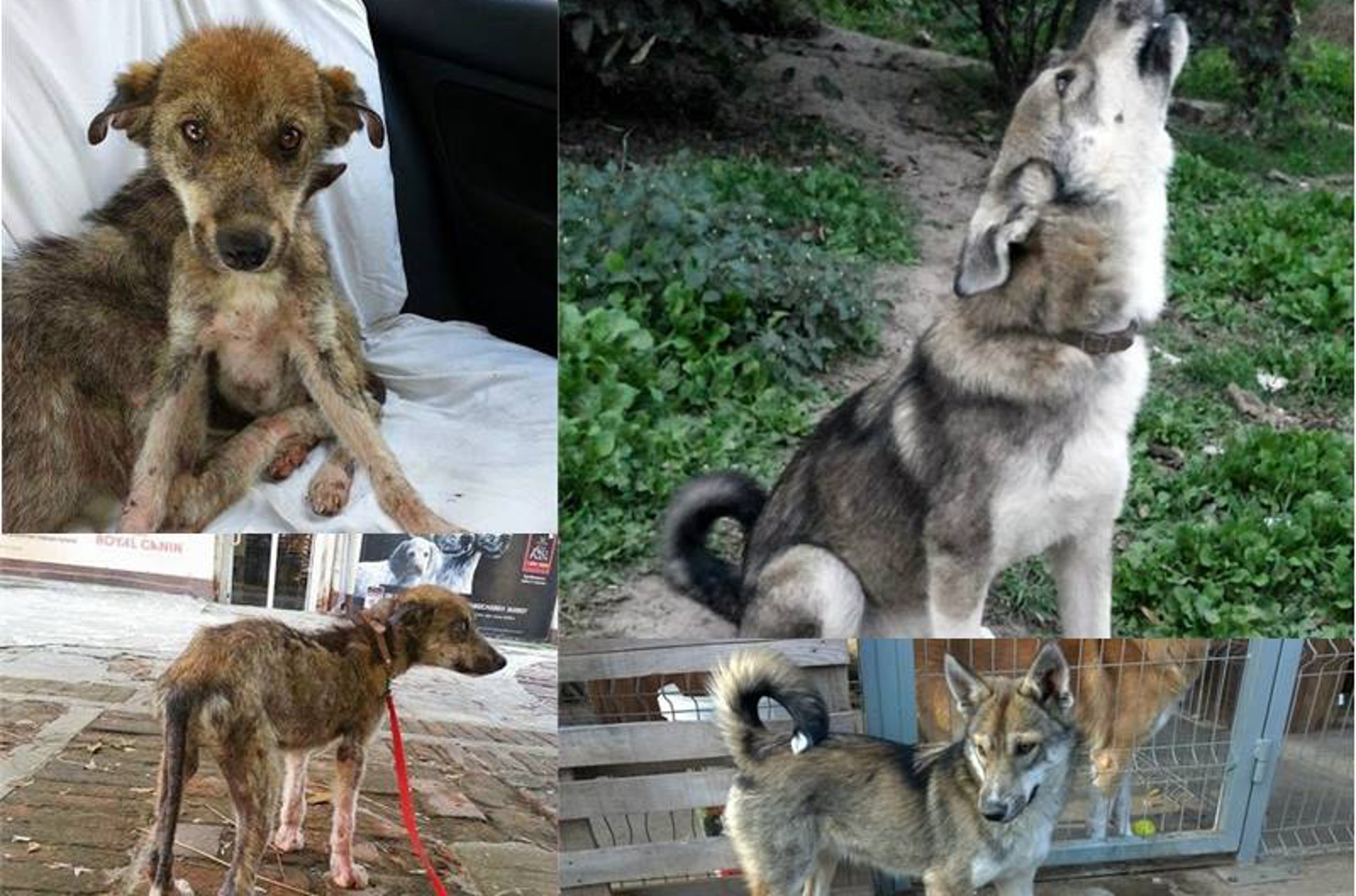 Mama Husky and Her Pup Who Were Abandoned and Left to Starve Make a Miraculous Recovery