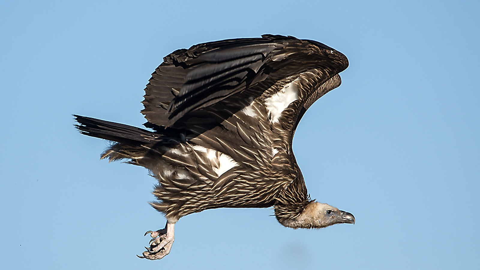 Vultures in Decline