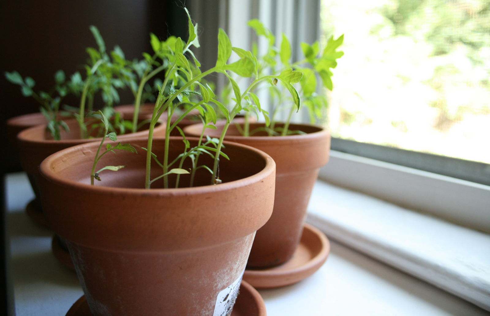 7 Edible Plants Well-Suited for Growing on Windowsills