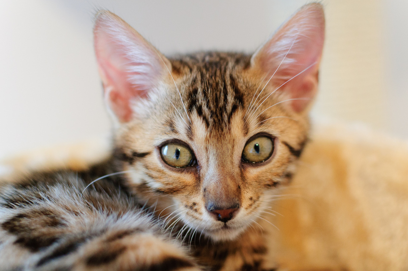 Hybrid Cats Might be Beautiful, But Here's Why They Make Terrible Pets