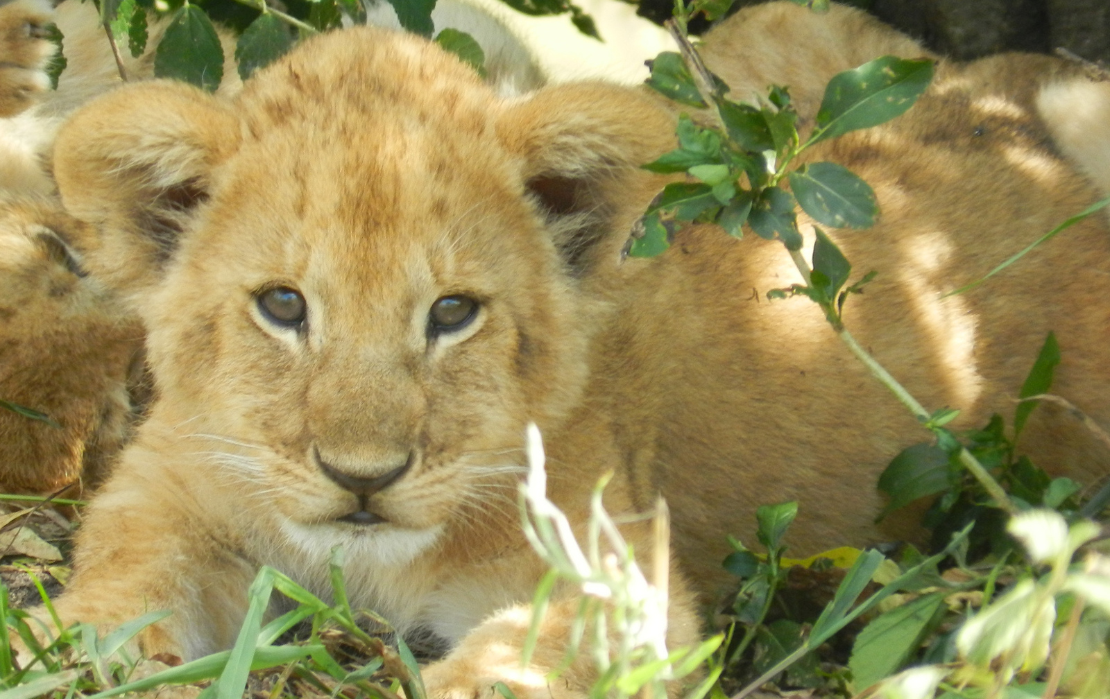 Public Outrage Builds As Denmark Zoo Plans To Dissect Lion Cub Killed For Space