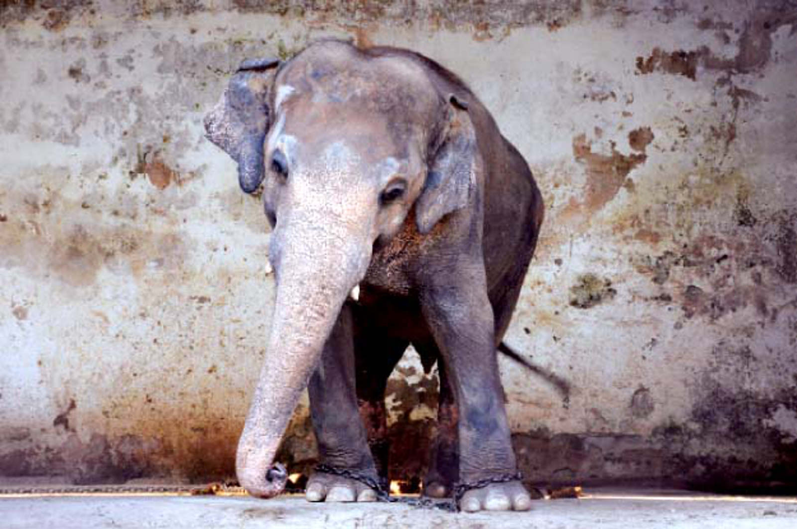 Help Free Kaavan, the Sick Elephant Who's Been Alone in a Zoo For 28 Years!