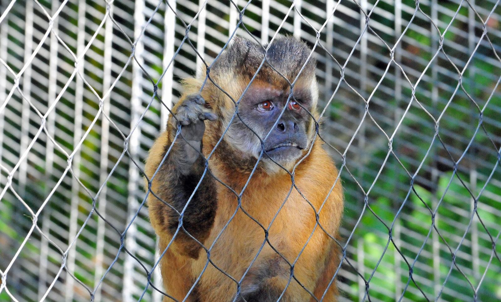 Nicolas: The Recovering Alcoholic Monkey