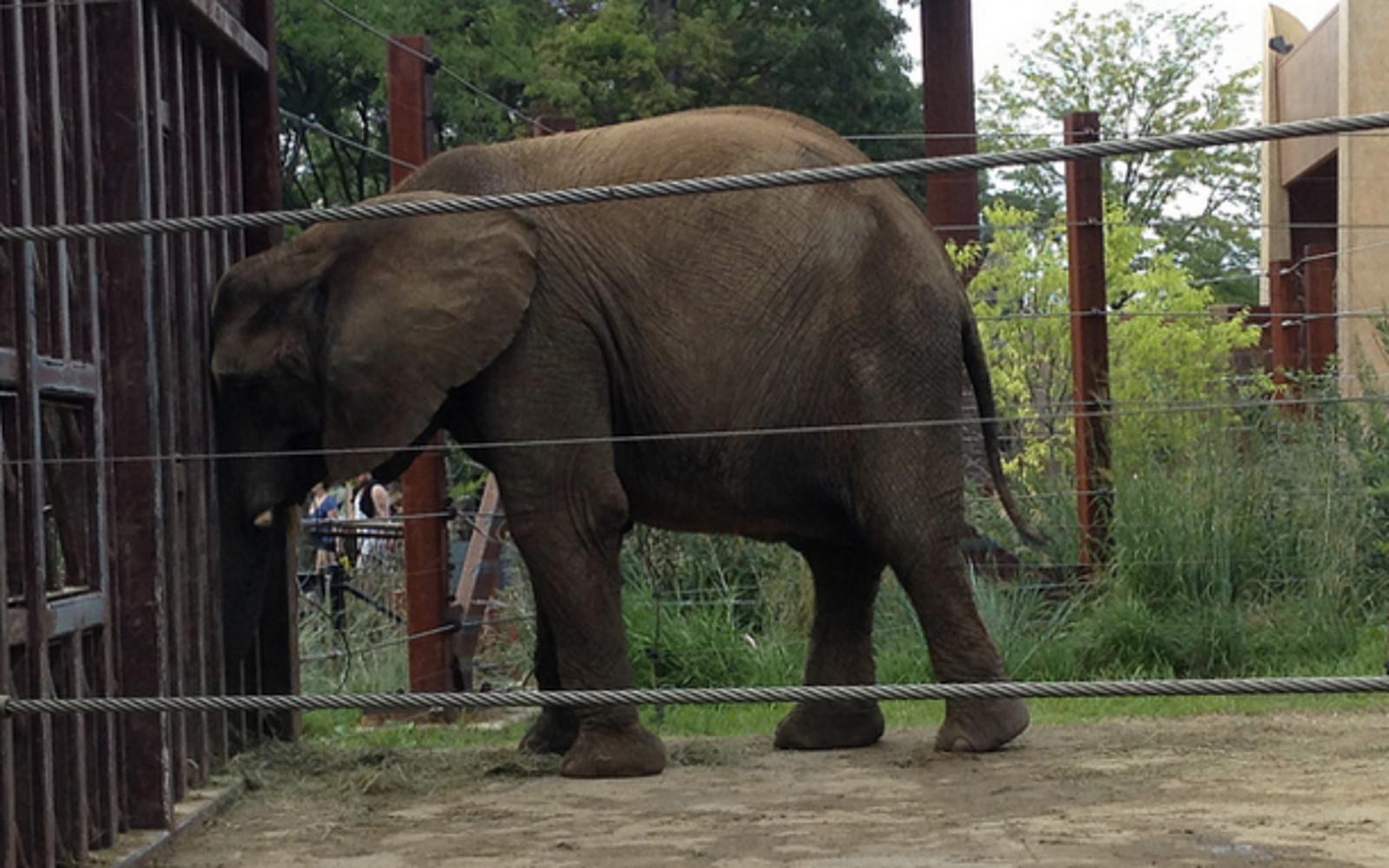 Elephants Will Never Belong in Zoos